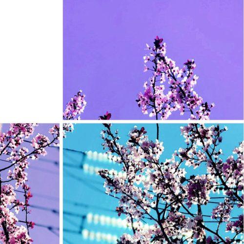 Prunos en Flor 3
