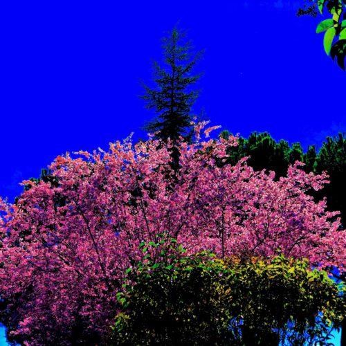 Prunos en Flor 8